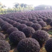 供应红花继木球种植基地、红花继木球基地直销、红花继木球低价批发