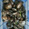台草龟苗图片