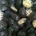 中华草龟图片