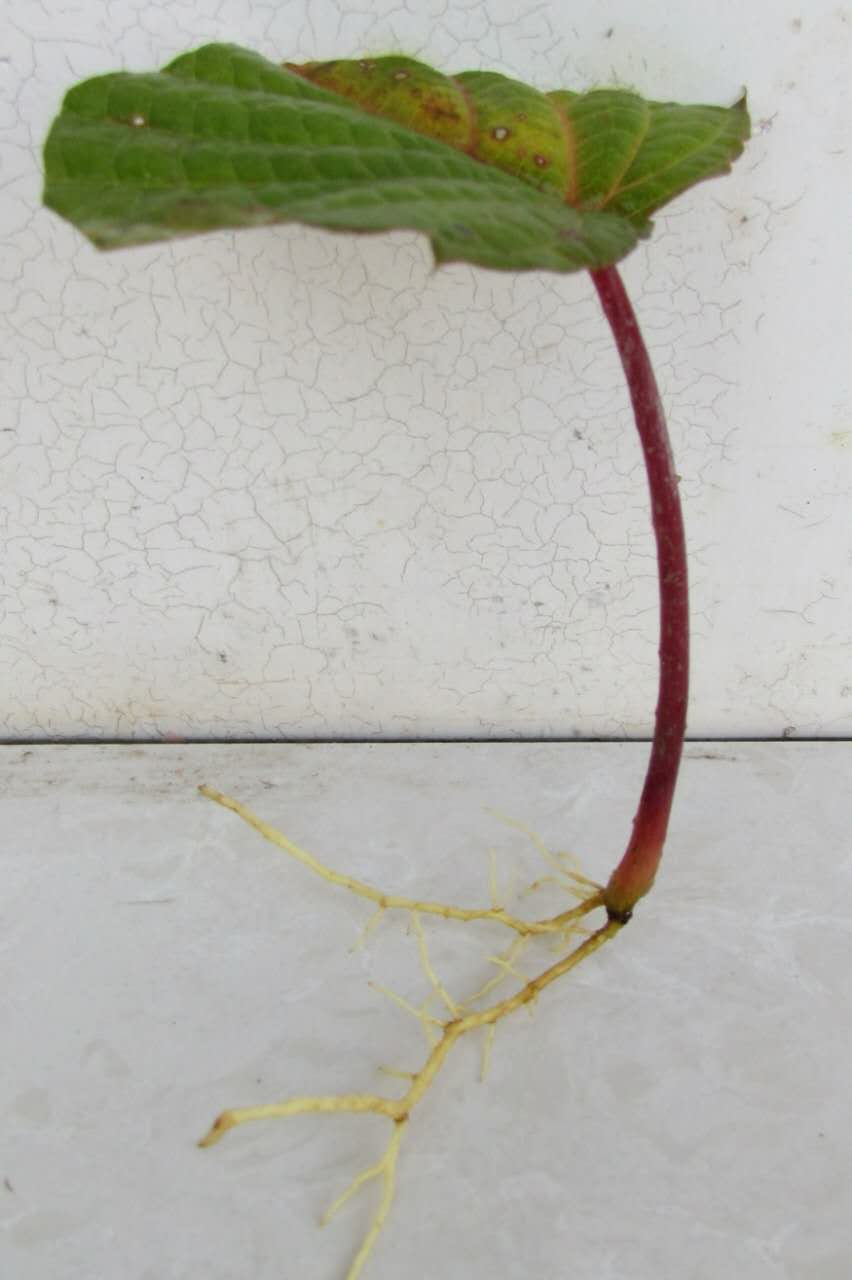 供应珙桐叶片生根、直销珙桐叶片生根、珙桐叶片生根价格