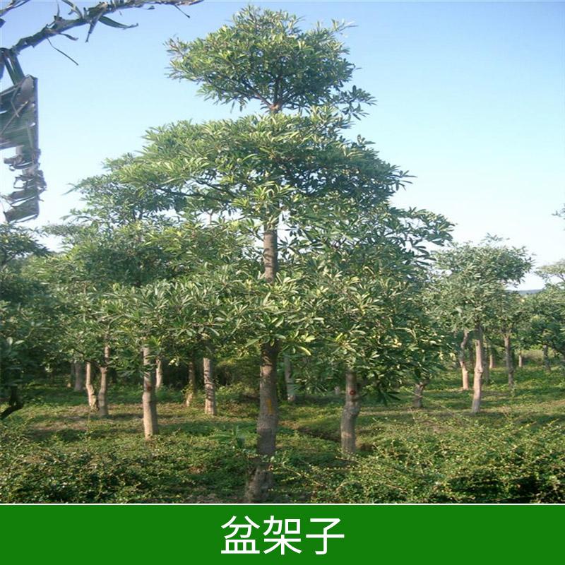 绿化苗木基地盆架子出售园林绿化价格实惠盆架子树苗种植基地