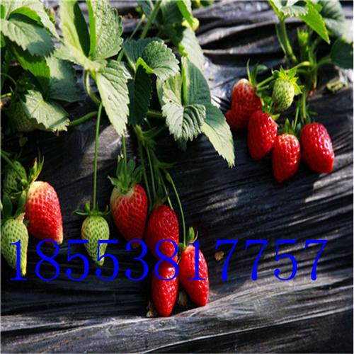 太空2008草莓苗  太空2008草莓苗价格多少钱