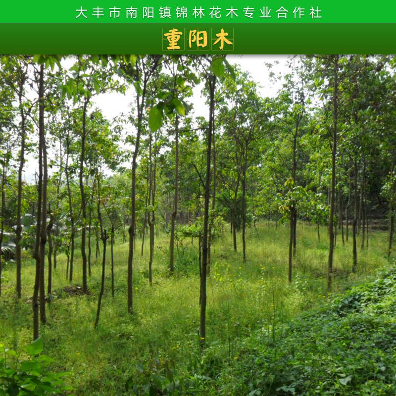 园林绿化工程行道树景观树重阳木苗木落叶乔木优质重阳木树苗批发