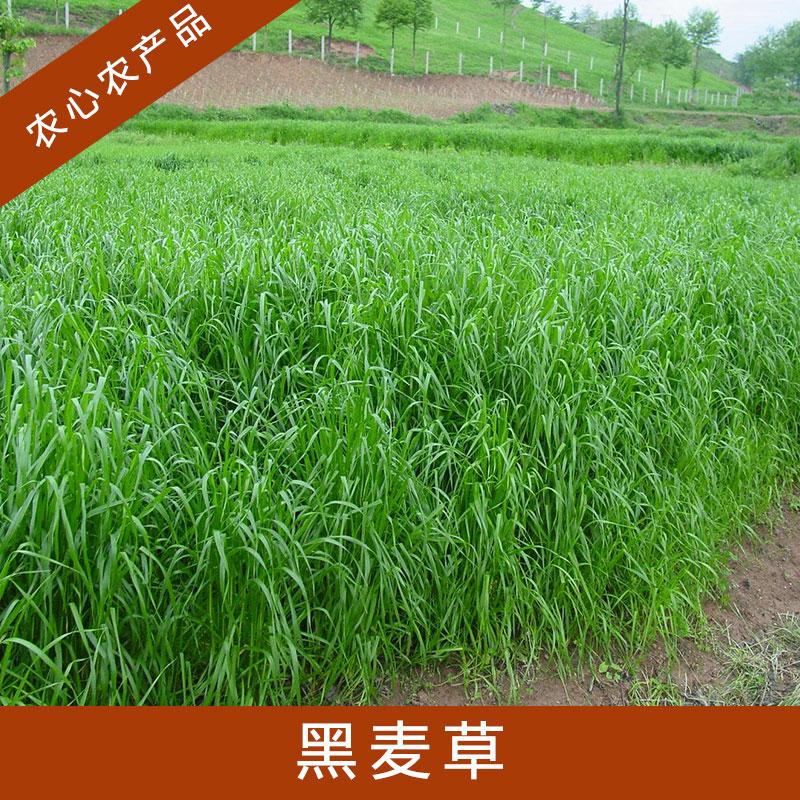 黑麦草销售