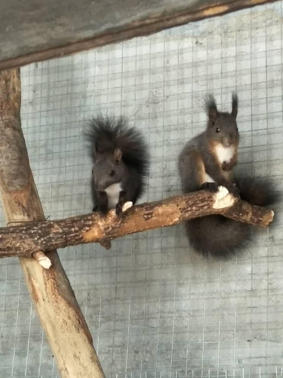 山东松鼠养殖场 魔王松鼠价格哪里有卖魔王松鼠幼崽山东松鼠养殖场