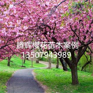 江西抚州樱花工程