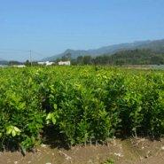 江西三红蜜柚苗种植园图片