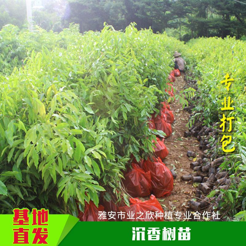 植物种植苗木沉香树苗带土容器沉香杯苗一年生/多年生小苗批发