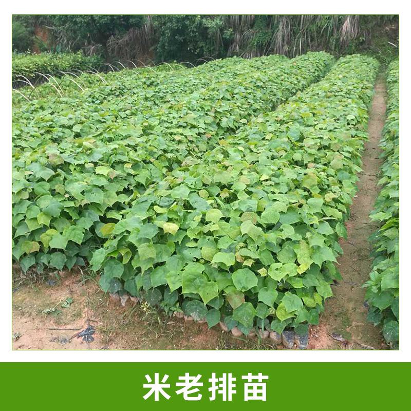 广州大展绿化种苗场供应米老排苗速生树种米老排绿植苗培植小苗批发