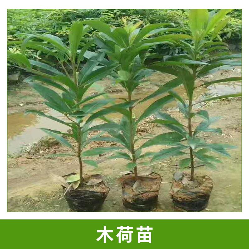 基地直销木荷树苗园林/行道/庭院绿化树木荷小苗多年生容器苗