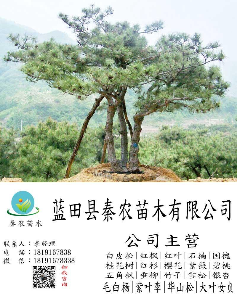 绿化1米到10米油松销售|10米二级油松木销售|2017年油松报价单|秦农苗木