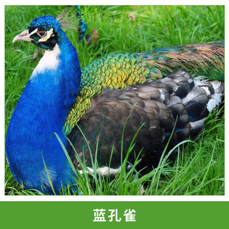 热销高存活蓝孔雀苗特种养殖孔雀活体观赏鸟孔雀种苗批发包邮包活