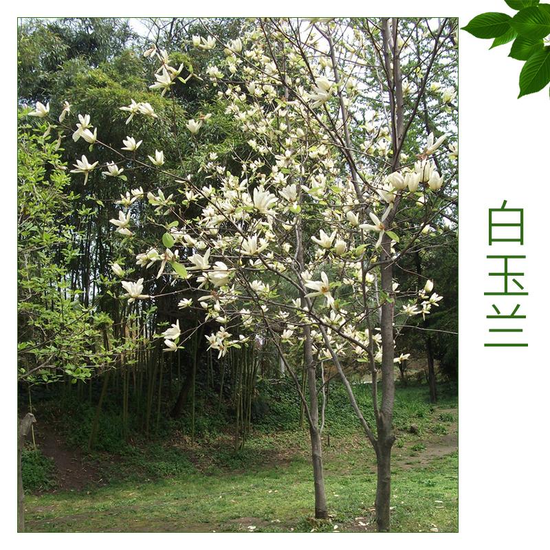 白玉兰 绿化工程苗木基地 优质玉兰树 绿化人行道树 欢迎来电订购