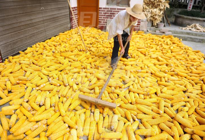 厂家种植销售玉米    玉米的营养价值