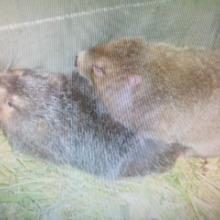普洱市竹鼠养殖    竹鼠养殖批发  竹鼠的营养价值