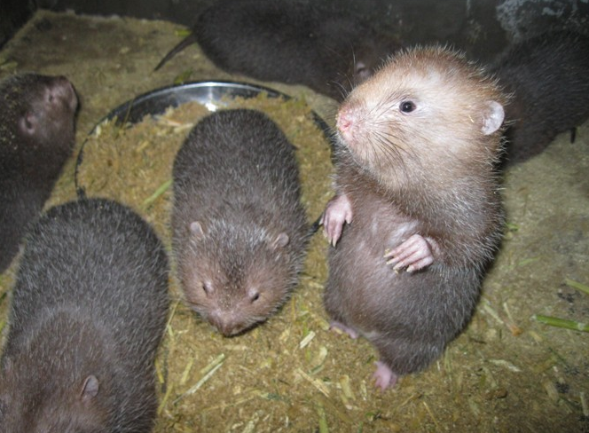 普洱市养殖销售竹鼠