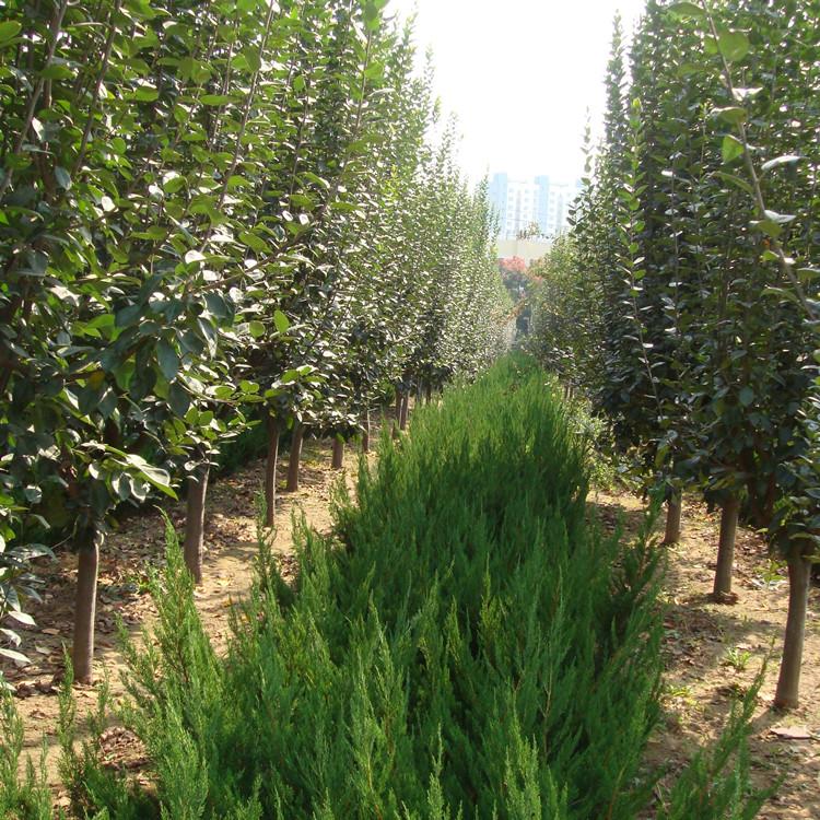 海棠苗 西府海棠北美海棠苗木种植批发基地 山东海棠苗木价格 现在较便宜的苗木是哪种