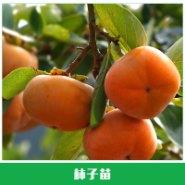 柿子苗价格图片