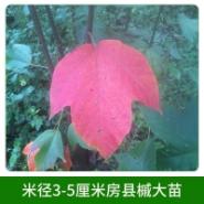 米径3-5厘米房县槭大苗图片