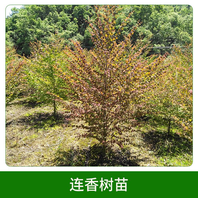3年生连香树苗 绿化苗木 连香树 成活率高 风景树 欢迎来电订购