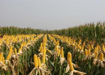 山东玉米图片
