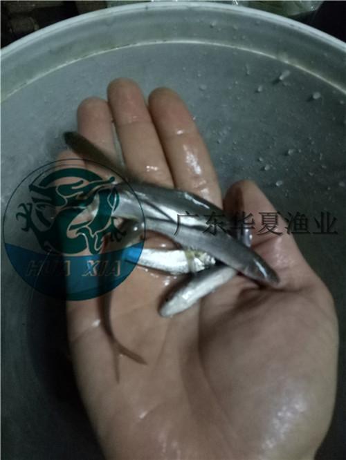 银鳕鱼苗销售