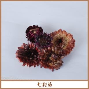 七彩菊图片