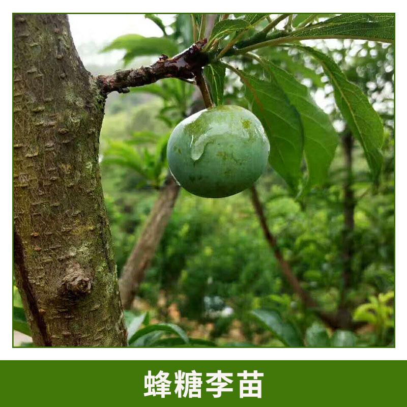 甜的李子 蜂糖李苗 罗汉果 百香果 绿化苗木 欢迎来电咨询