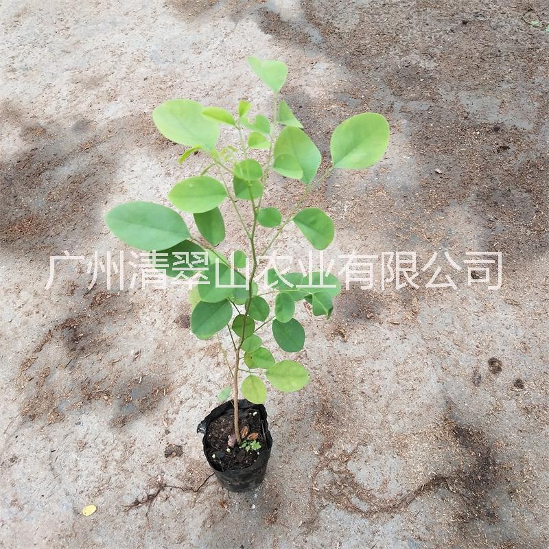 大红酸枝名贵木材树种