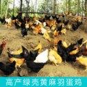 高产绿壳黄麻羽蛋鸡图片