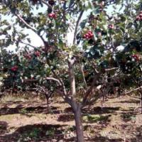3公分山楂树 3公分山楂树价格3公分山楂树供应3公分山楂树基地