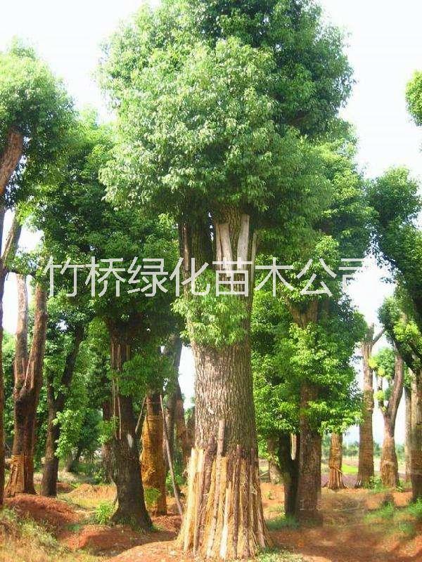桂林香樟树批发 10公分香樟树价格 广西樟木