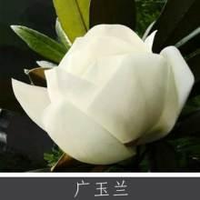 广玉兰 园林景区绿化植物 道路城市公园观赏植物 常绿灌木乔木批发图片