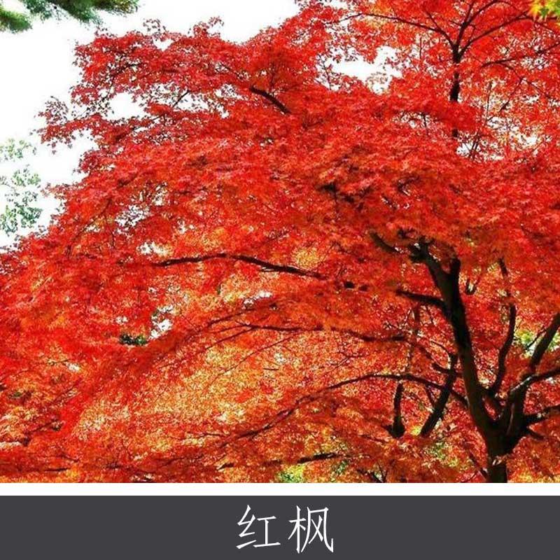 红枫 夏绿落叶乔木 园林景区城市等绿化工程用观赏植物 红枫树直销