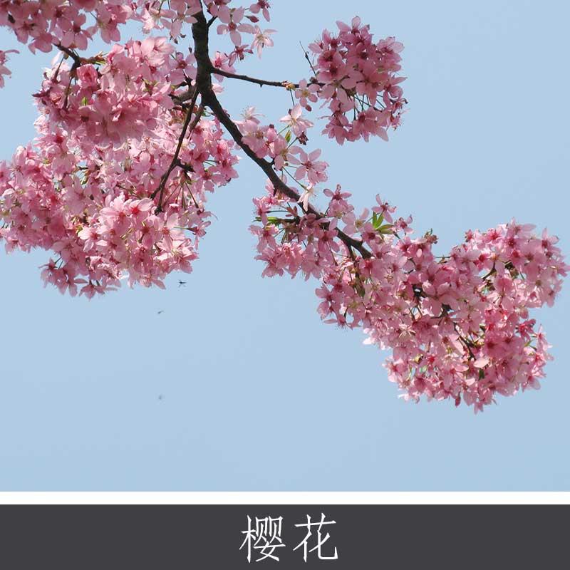 樱花 中国樱花乔木 日本东京樱花观赏植物批发 护肤药用多用途植物