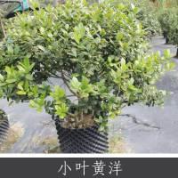 小叶黄杨 优质抗污染常绿灌木 多种功效药用植物批发 欢迎致电订购