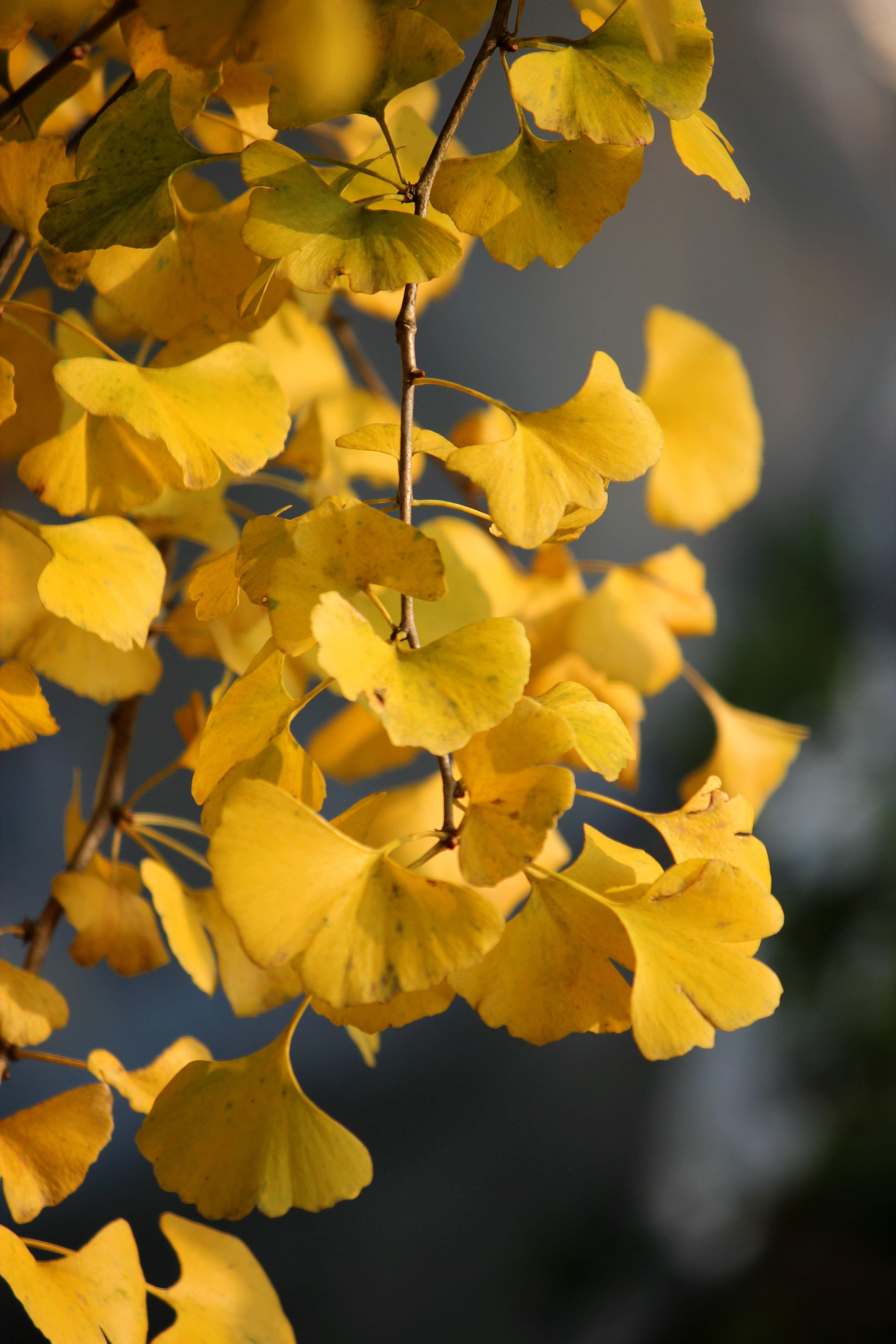 银杏基地 银杏品种 银杏树价格  广西银杏价格