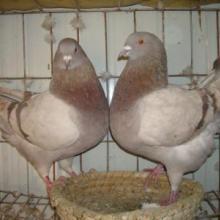 种鸽肉鸽养殖批发