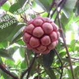 吉安遂川商龙山野特色水果布福娜,布福娜种子,布福娜种苗