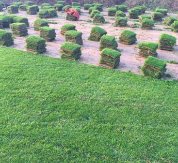 厂家基地直销 草坪 马尼拉 果岭草 四季青 足方 现铲草坪 农户价