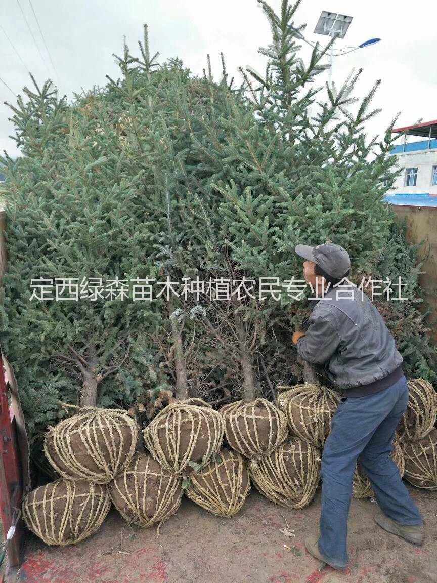 甘肃云杉,甘肃云杉、云杉、2米3米云杉价格 甘肃云杉、2米3米内蒙西藏云杉