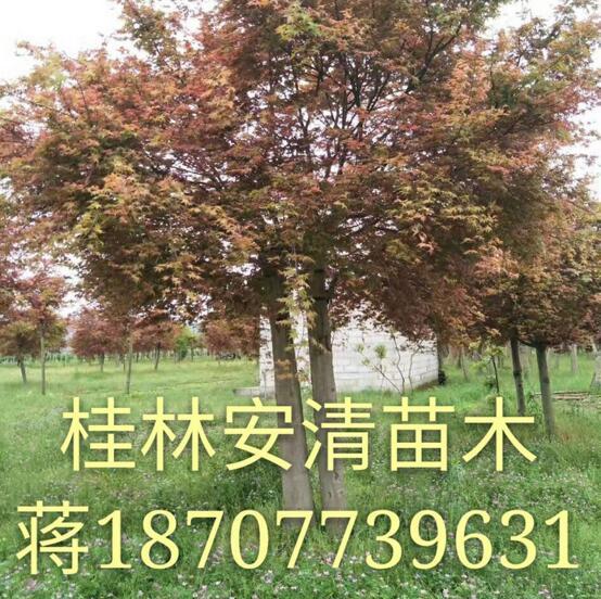 美国红枫树价格  美国红枫树 美国红枫树批发 美国红枫树供应商