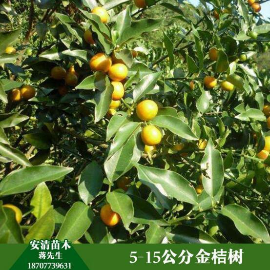 桂林金桔树价格  金桔树 金桔树供应商 金桔树大量批发