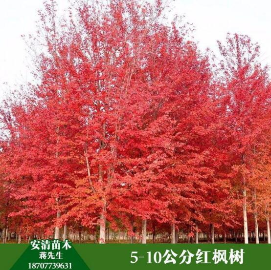 桂林红枫树价格  红枫树 红枫树大量出售 红枫树生产种植 红枫树批发