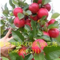 苹果苗 苹果树 柿子树 核桃树 柱状苹果苗烟富3烟富6红富士苹果苗基地批发