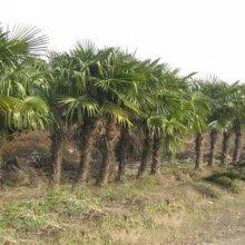 棕榈供应商  棕榈 江苏棕榈价格 棕榈批发批发