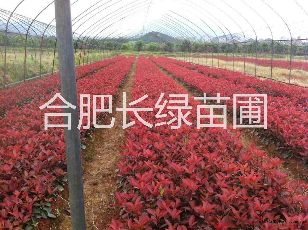 安徽肥西红花继木小苗,海桐小苗,大叶黄杨,合肥苗木价格 安徽红叶石楠小苗