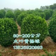 大叶黄杨球图片