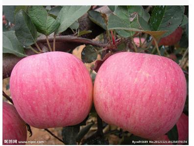 批发红富士苹果苗、优质红富士苹果苗、红富士苹果苗基地