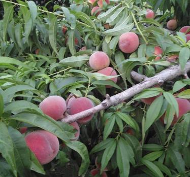 优质桃树苗。桃树苗基地直销。桃树苗批发价格